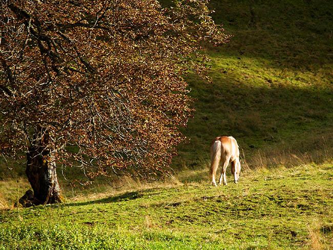 Abendstimmung Haflinger Pferd am Sonnenhof am Weissensee in Kärnten Urlaub am Bauernhof